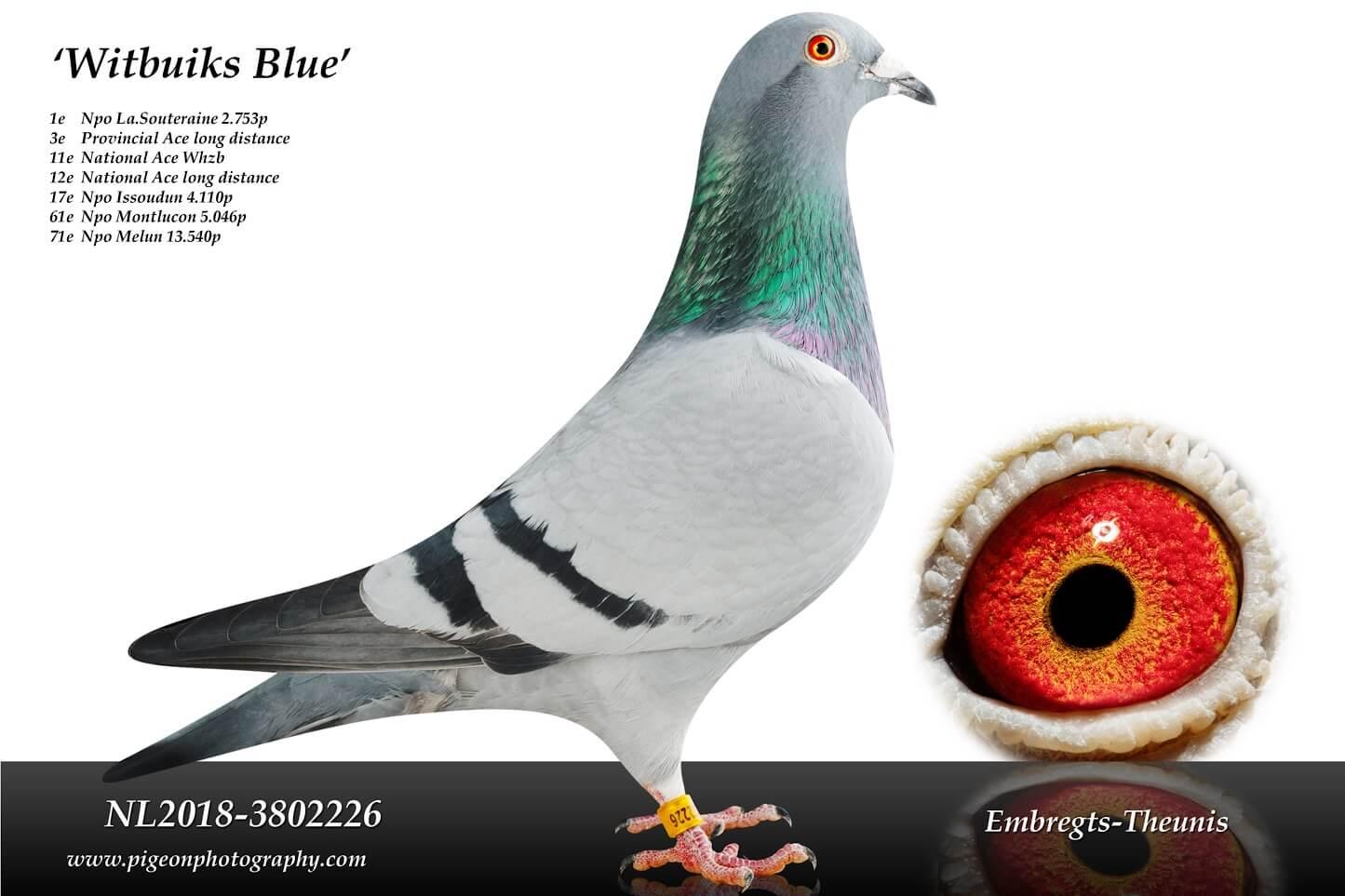 Witbuiks-Blue